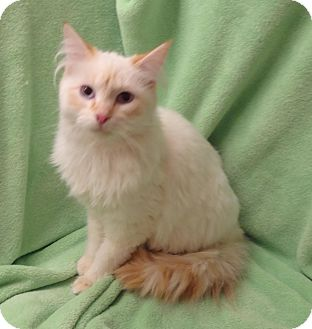 Siamese Cat for adoption in Bentonville, Arkansas - Chip