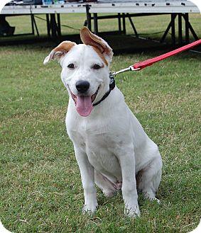 German Shepherd Dog/American Staffordshire Terrier Mix Puppy for adoption in Dripping Springs, Texas - Casper