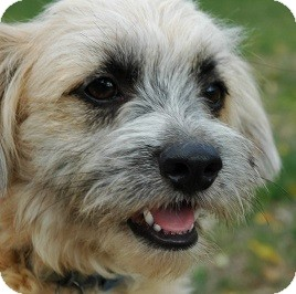Havanese/Terrier (Unknown Type, Small) Mix Dog for adoption in Mission Viejo, California - WALLY