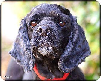 Cocker Spaniel Dog for adoption in Vista, California - Maggie
