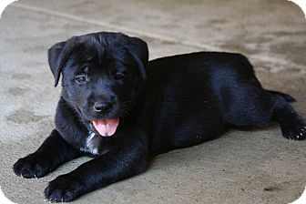 Labrador Retriever/Retriever (Unknown Type) Mix Puppy for adoption in knoxville, Tennessee - CROSBY