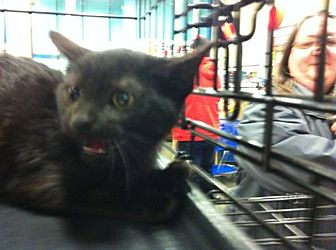 Domestic Shorthair Kitten for adoption in Pittstown, New Jersey - Simon