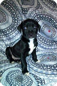 Labrador Retriever Mix Puppy for adoption in Anoka, Minnesota - Pugsley