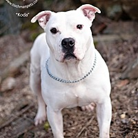 Adopt A Pet :: Koda - New Canaan, CT
