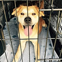 Husky Mix Dog for adoption in cleveland, Ohio - Goldie
