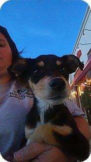 Australian Cattle Dog/Manchester Terrier Mix Puppy for adoption in Ogden, Utah - Lily Munster