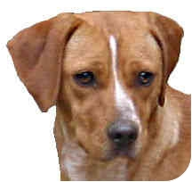 Beagle/Miniature Pinscher Mix Dog for adoption in Sperryville, Virginia - Annabelle
