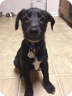 Labrador Retriever/Wirehaired Fox Terrier Mix Puppy for adoption in Knoxville, Tennessee - Zeus