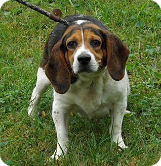 Beagle Dog for adoption in Batavia, Ohio - Orchid