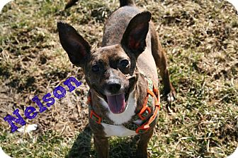 Terrier (Unknown Type, Small) Mix Dog for adoption in Brazil, Indiana - Nelson