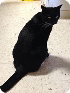 Domestic Mediumhair Cat for adoption in Columbus, Ohio - Sam