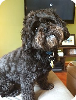 Poodle (Miniature)/Shih Tzu Mix Dog for adoption in Lutherville, Maryland - Gus