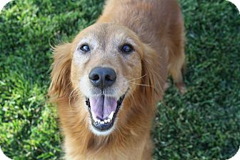 Golden Retriever Dog for adoption in Los Angeles, California - Sandy (and Ben)