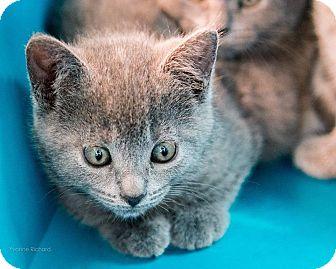 Russian Blue Kitten for adoption in THORNHILL, Ontario - Cinnamon