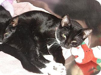 Domestic Shorthair Cat for adoption in Island Heights, New Jersey - Shelly/Stevie