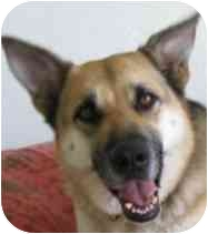 German Shepherd Dog/German Shepherd Dog Mix Dog for adoption in Dripping Springs, Texas - Eve