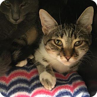 Domestic Shorthair Kitten for adoption in Westminster, California - Bonham