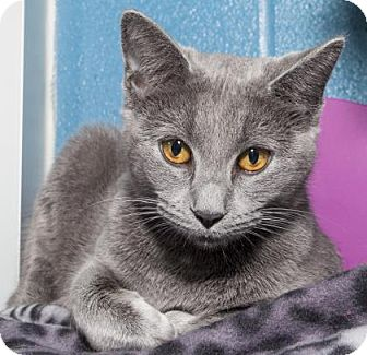 Manx Cat for adoption in Wichita, Kansas - Piper
