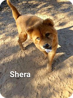 Chow Chow Mix Dog for adoption in North Haven, Connecticut - Shera