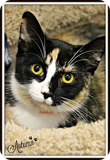 Domestic Shorthair Cat for adoption in Dunkirk, New York - Autumn