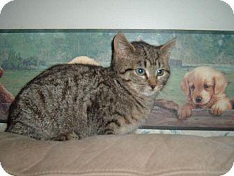 Domestic Mediumhair Cat for adoption in Walnutport, Pennsylvania - Raggles