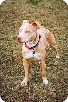 Catahoula Leopard Dog/Pit Bull Terrier Mix Dog for adoption in Dayton, Ohio - Sunny