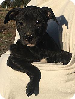 Labrador Retriever Mix Puppy for adoption in Brattleboro, Vermont - Lemon
