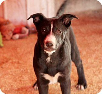 Dutch Shepherd/Labrador Retriever Mix Puppy for adoption in Liberty Center, Ohio - Nera