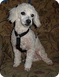 Toy Poodle Dog for adoption in Tacoma, Washington - Chantilly Lace