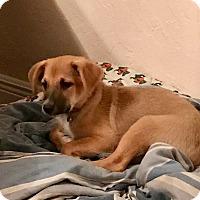 Adopt A Pet :: John -last gadget - S. Pasedena, FL