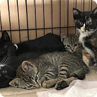 Adopt A Pet :: kittens - Brea, CA