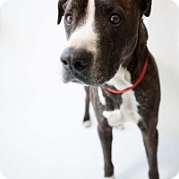 Pointer/American Staffordshire Terrier Mix Dog for adoption in Culver City, California - Slick