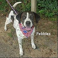German Shorthaired Pointer Dog for adoption in Shreveport, Louisiana - Pebbles