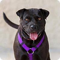 Labrador Retriever/Terrier (Unknown Type, Medium) Mix Dog for adoption in Garner, North Carolina - Dora