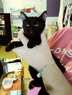 Domestic Shorthair Kitten for adoption in San Tan Valley, Arizona - Bolt