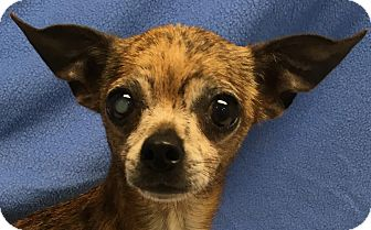 Chihuahua Mix Dog for adoption in Lexington, Kentucky - Boris