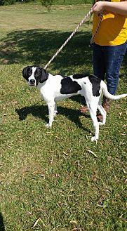 Hound (Unknown Type) Mix Dog for adoption in Trenton, Missouri - Frank