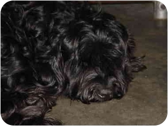Cockapoo Mix Dog for adoption in Melbourne, Florida - CABOOSE