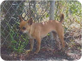 Chihuahua Mix Puppy for adoption in Patterson, California - VIVA