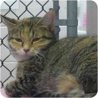 Domestic Shorthair Cat for adoption in Kitchener, Ontario - Wendy