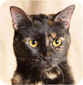 Domestic Shorthair Cat for adoption in Chicago, Illinois - Kitzy