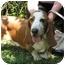 Photo 1 - Basset Hound Dog for adoption in Folsom, Louisiana - George-HELP NEEDED!