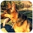 Photo 2 - German Shepherd Dog Dog for adoption in Baldwin, New York - Maximellian