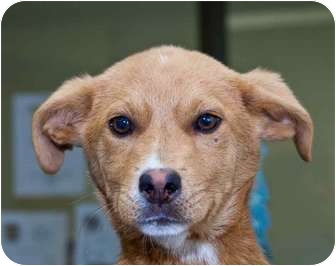 Collie Mix Puppy for adoption in Beacon, New York - Prancer