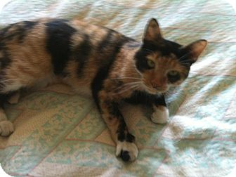 Domestic Shorthair Cat for adoption in Huntsville, Ontario - Minky Roo - Quirky!