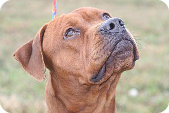 Pug/American Staffordshire Terrier Mix Dog for adoption in Ponderay, Idaho - Rusty