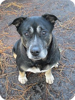Rottweiler/Shepherd (Unknown Type) Mix Dog for adoption in Forked River, New Jersey - Sheila