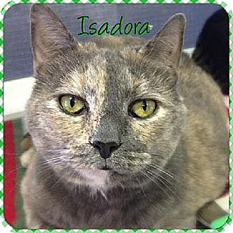 Domestic Shorthair Cat for adoption in Huntington, New York - Isadora
