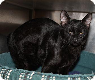 Domestic Shorthair Kitten for adoption in Seville, Ohio - Sneezy