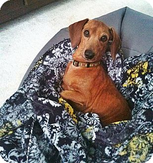 Dachshund Dog for adoption in Decatur, Georgia - Judy Garland
